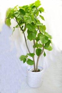 観葉植物13(ウンベラータ)