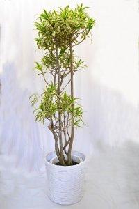観葉植物14(ソングオブインディア)