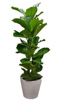 観葉植物19(カシワバゴム)