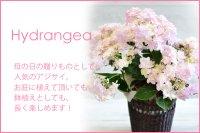 Hydrangea -Light Pink -