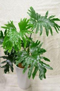 観葉植物24(セローム)
